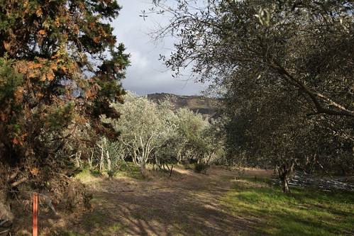 オリーブの園