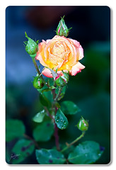 Weie Rose (Lowfloater Photography) Tags: photoshop canon raw cs3 canonef50mmf18ii canoneos400d photoshopcs3