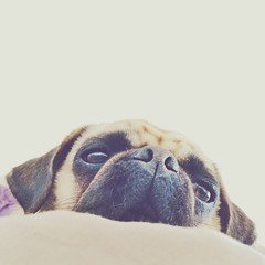 Sleepy Lola (brat_ro) Tags: dog chien pet pets cute animal puppy square fun photography tiere photo funny pretty lol lola adorable pug hund squareformat doggy pugs tier mops carlino iphoneography instagram instagramapp uploaded:by=instagram