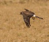 Northern Harrier (snooker2009) Tags: winter snow bird fall nature birds animal outdoors wildlife small raptor getty migration northern harrier d800 thewonderfulworldofbirds dailynaturetnc12 dailynaturetnc13