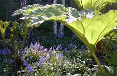 New copy: Scillia w: Gunnera (serialplantfetishist) Tags: garden berkeley favoritegarden pondamphitheatre serialplantfetishist