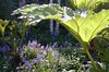 New copy: Scillia w: Gunnera (serialplantfetishist) Tags: garden berkeley favoritegarden pondamphitheatre serialplantfetishist