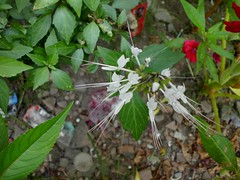 Kumis kucing (Nelindah) Tags: lamiaceae catswhiskers orthosiphonaristatus javatea taxonomy:family=lamiaceae misaikucing geo:country=indonesia kumiskucing taxonomy:binomial=orthosiphonaristatus nelindah benqac100