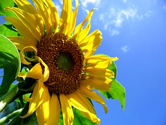 Sunflower (A