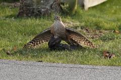 Cooper's Hawk Mantling (Shayne Kaye) Tags: canada bird grass birds bc hawk britishcolumbia hunting posing starling victoria raptor catching coopers birdofprey mantling