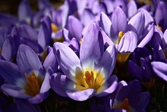 Spring Crocus (kev747) Tags: flowers spring crocus bulbs springbulbs flowersadminfave