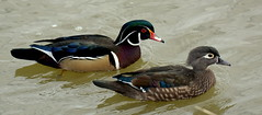 wood duck couple (bird behaving badly) Tags: male female pair woodduck aixsponsa reifelbirdsanctuary ladnerbc