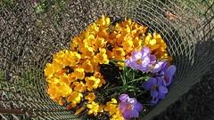 Bee Smorgasbord (nikkorglass) Tags: film home yellow canon movie spring purple sweden powershot bin lila hd gul krokus hemma vr s100