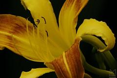 Curvas harmonizadas (Ha1000) Tags: flower yellow stem lily flor amarelo lrio estame flickrfriday
