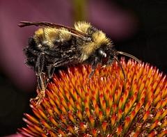 Sleeping Bee (Darts5) Tags: bug bugs bees bee beeupclose beeseye sleepingbee macro macros insect insects insecteyes ef100l 7d2 7dmarkll 7dmarkii 7d2canon closeup canon7d2 canon7dmarkll canon7dmarkii canon