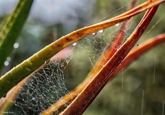 071 365 2017  wet day (friiskiwi) Tags: cobweb drops