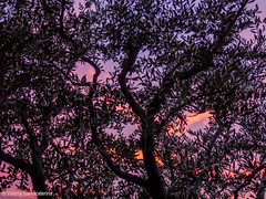olive tree & sunset (Valeria Santacaterina) Tags: sunset tramonto olivo olivotree tree shadows profile profilo artistic creativity sky cielo rami orange pink luce lights natural nature