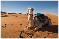 Rolex - My Camel (keety uk) Tags: ©stuartbennett photokeetynet morroco desert marrakech berber