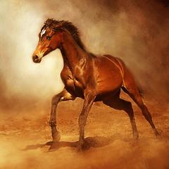 *** (Lotharn) Tags: arabian horse gallop colt