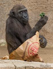 Joanne (ToddLahman) Tags: joanne westernlowlandgorilla gorilla sandiegozoosafaripark safaripark canon7dmkii canon canon100400 mammal closeup traderjoes outdoors escondido