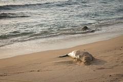 Sleeping Monk Seal (kskyenb) Tags: kauai monkseal seal sleeping poipubeach