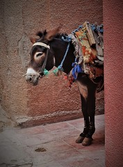 logistics in the medina (SM Tham) Tags: africa morocco marrakech oldmedina walledcity street alley lane donkey animal logistics beastofburden transport