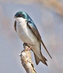 Tree Swallow (richmondbrian) Tags: dncb 201713 iona tree swallow