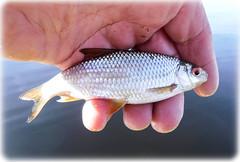 Little roach (Nicolas Valentin) Tags: roach fish