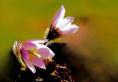 Pulsatilla vernalis (Fr Paul Hackett) Tags: alpine gardenflower dolomites seed