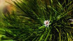Fir Needles (Bob's Digital Eye) Tags: bobsdigitaleye canon depthoffield ef50mmf18ii firneedles flicker flickr foliage green organictexture outdoor plant t3i tree macro