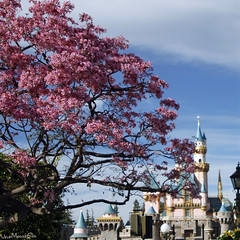 A view from the Hub. One of the beautiful  Pau d'Arco, Tabebuia heptaphylla trees with Sleeping Beauty Castle in the background. (woohit42) Tags: canon7d canon spring disneyland disney waltdisney sleepingbeautycastle flowers floweringtree