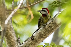 Cuba: Cuban Green Woodpecker (donna lynn) Tags: 2017 march cuba birds birding nature wildlife caribbean wingsbirdingtours nkon d500 endemics woodpeckers cubangreenwoodpecker endemic xiphidiopicuspercussus