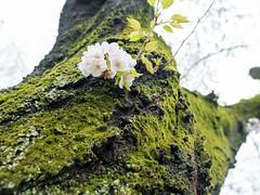 Mossy wood surface (gemapozo) Tags: sakura pentax jingugaien blossom someiyoshino 645z cherry japan tokyo 港区 東京都 日本 jp smcpentaxfa64535mmf35alif 神宮外苑 ソメイヨシノ 桜 さくら