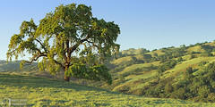 Old Oak, Late Afternoon (James L. Snyder) Tags: quercus oak deciduous tree trees foliage canopy branches trunk grass foothills ridge hills hill slope valley pasture grassland ranch countypark park graceful native rolling smooth vernal lush luxuriant verdant one lone solitary old rural country pastoral bucolic silhouette statuesque green sunlight sidelighting mellow soft delicate bluesky sunny cloudless clear tranquil peaceful idyllic majestic stately venerable washburntrail josephgrantcountypark hallsvalley ranchocañadadepala bayarea sanjose santaclaracounty povertyridge diablorange california usa horizontal panorama treesonhills late afternoon march spring 2015
