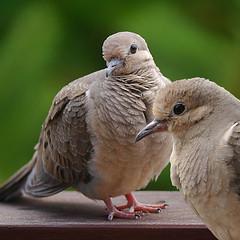 Watching Doves Watching (swong95765) Tags: birds doves animals bokeh watch watching eyes aware proximity alert skittish nervous