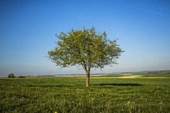 what do yellow and blue make? (HHH Honey) Tags: sonya7rii wiltshire spring tokina2035mmlens tokina trees landscape lonetree on1 onone yellow blue green hawthorn salisburyplain