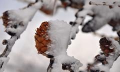 A pine cone (luca2142) Tags: neve snow larch larice pigna ice ghiaccio freshsnow nevefresca italy italia alps alpi alpiorobie lombardia lombardy valgerola rasura trees alberi