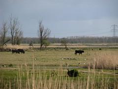Oostvaarders Plassen, Heckrunderen (ekenitr) Tags: oostvaardersplassen flevoland ekentr heckrunderen heckcattle desaurochsdeheck heckrinder