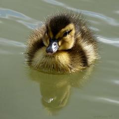 new kid on the block (cre8ive-M) Tags: eend eendje eendekuiken duck duckling pulletje dons houten lente voorjaar