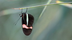 Small Postman Butterfly - Heliconius erato.                                                                     Just hanging around. (jaytee27) Tags: postmanbutterfly heliconiuserato naturethroughthelens