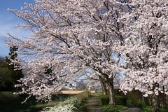 Sakura (bamboo_sasa) Tags: 桜 ソメイヨシノ 高田公園 高田 上越 新潟 北陸 日本 お花見 春 花 高田城 sakura someiyoshino takada park cherryblossoms spring flower japan niigata hokuriku joetsu cherry blossoms