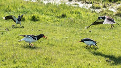 Oyster Catchers mobbed by Lapwing (colper) Tags: 100400 canon7dmk2 elmleynnr lapwing oystercatcher