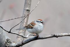 Chipping Sparrow (av8s) Tags: chippingsparrow sparrow birds perchingbirds songbirds nature wildlife photography nikon d7100 sigma 120400mm pennsylvania pa