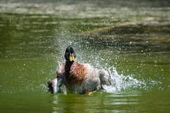 Mallard Drake splashing water_ (adirondack_native) Tags: duck mallard yellow beak green splashing swimming