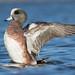 American Wigeon (nhm3n1) Tags: