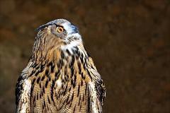 (Fred Matos) Tags: fredmatos lisboa portugal animais animal animals coruja owl lisbon