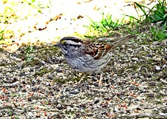 White-throated Sparrow Camouflage (Anne Ahearne) Tags: bird birds whitethroatedsparrow sparrow nature animal wildlife