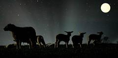The Last Grazers (baxter.ad) Tags: lambs sheep worthing west sussex england uk rural moonlight grass fields dusk moon nightfall nature wool love life baa