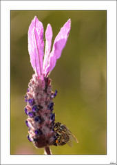 Trabajando a la sombra (V- strom) Tags: naturaleza nature abeja bee macros macrophotography nikon nikon105mm rosa pink lavanda lavender fauna flora texturas textures