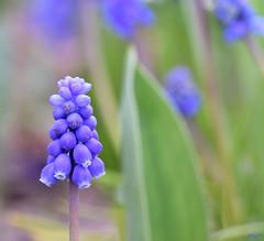 Muscari (thierrymazel) Tags: muscari flowers pritemps spring bokeh profondeur champ violet purple bleu