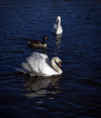 A cold spring day on the Loch (buddah1888) Tags: broadwood loch springsunshine coldwater swans moorhens feeding buddah1888 beautiful olympus omd em 10 mkii olympusomdem10mkii reflection reflections scotland sunshine wild goose geese water lake