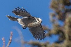 Grey Jay (Whiskey Jack & Canada's National Bird) (Ron Hodgson Wildlife Photography) Tags: 68 greyjay sibbaldlake