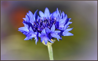Silky Blue Cornflower