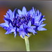 Silky Blue Cornflower