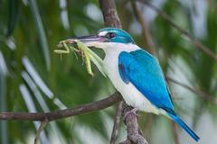 Collared Kingfisher with prey (BP Chua) Tags: collared kingfisher bird nature wild wildlife animal blue garden park chinesegarden singapore prey mantis prayingmantis food perch nikon 600mm